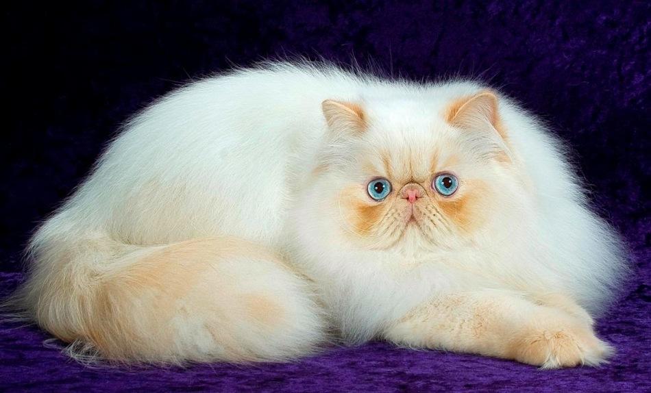 Сколько живут шотландские кошки в домашних условиях